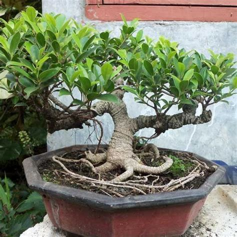 Membuat Bonsai Adenium cara membuat bonsai adenium tanamanbonsai