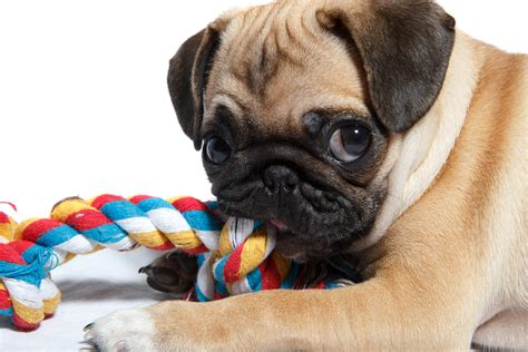 pug puppy biting the search for the chew dr marty becker