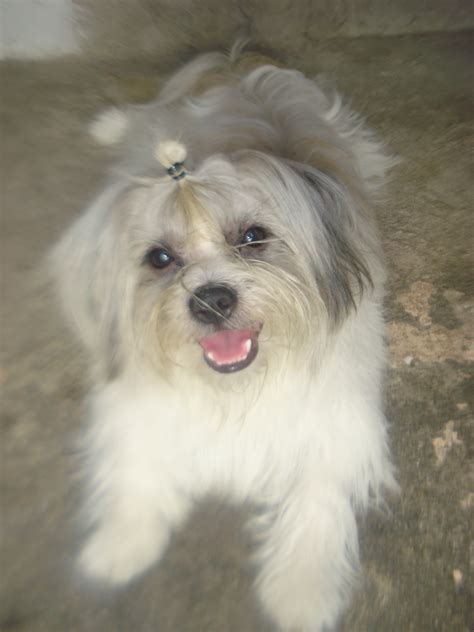shih tzu mix breed spitz mix breed breeds picture