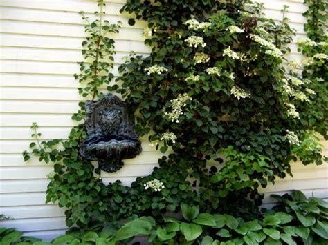 planting climbing hydrangea info on climbing hydrangeas growing climbing hydrangeas