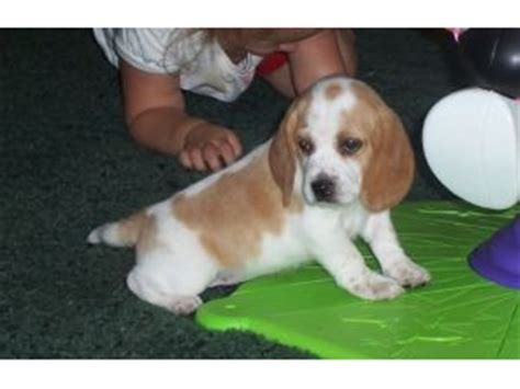 lemon beagle puppies for sale image gallery lemon spotted beagle