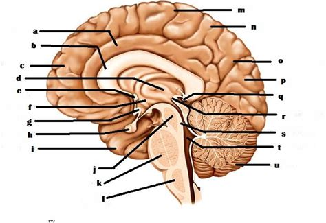 brain diagram quiz human anatomy brain anatomy quiz functions and structure