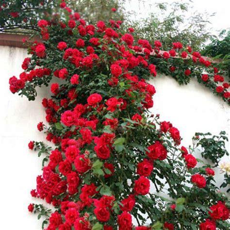 100 seeds climbing rose seeds plants spend climbing roses 100 seeds pack rare blue climbing rose seeds very