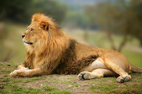 imagenes de animales gratis animales leon rey de la selva en alta resolucion gratis
