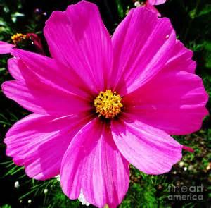 images flowers pink flowe drawing by alan macfarlane