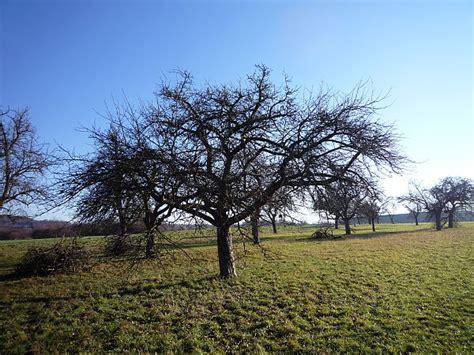 Schneiden Apfelb Umen 4175 by Obstbaumschnitt Apfel Obstbaumschnitt Schneiden Des
