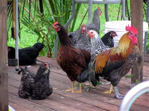 How To Keep Backyard Chickens City Heights Farmer The Of Raising Chickens In San