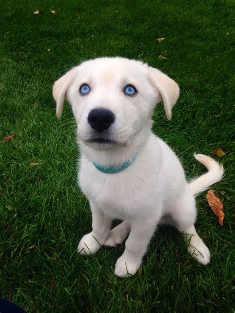 goberian puppies 64 best images about puppies on golden dachshund australian shepherd mix