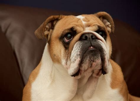 breathing problems in dogs what is brachycephalic airway breeds picture
