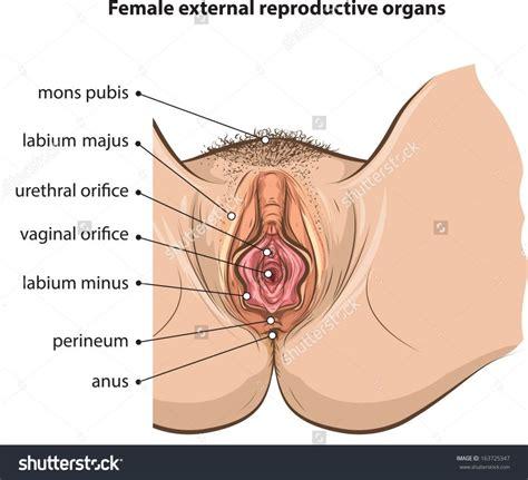external female reproductive system diagram the diagram of external reproductive system human female