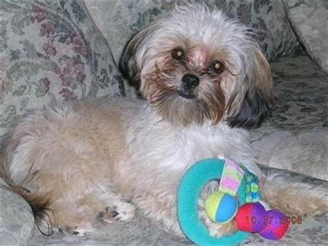 yorkie lhasa apso yorkie apso breed information and pictures