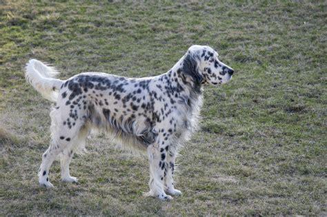 english setter pointer dog breeds english setter english setter dog breeds