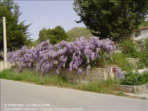 foto glicine in fiore e primavera glicine in fiore foto di alia pa
