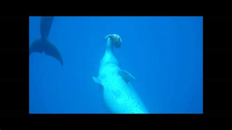Dolphin Blowfish Detox Vidio by Dolphins Toying With A Puffer Fish