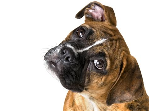 boxers dogs boxer dogs wallpaper