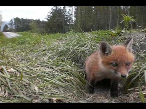 fox puppy fox pup puppy kit waking up