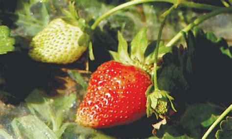 Strawberry St3 strawberry temptation