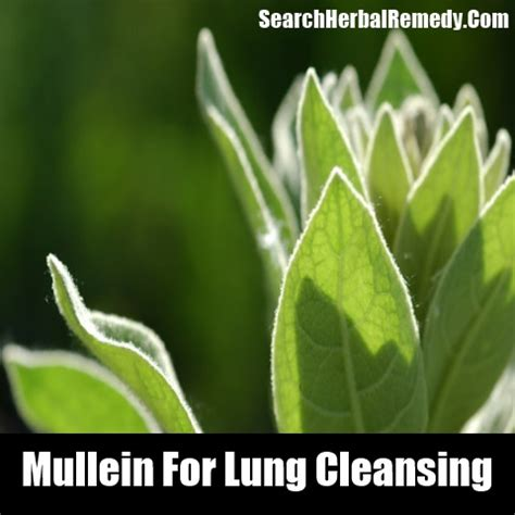 Herbs That Detox Lungs by Mullein