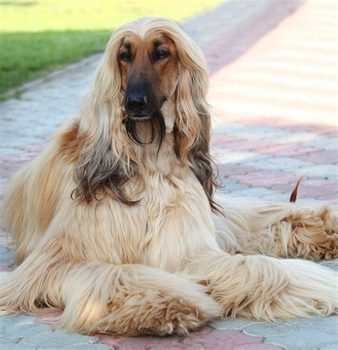 afghan breed breed of the week the afghan hound simply for dogs