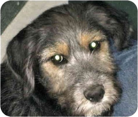 poodle rescue evansville indiana black lab poodle mix buddy adopted puppy alden ia poodle