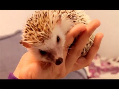 bath time for 9 week pygmy hedgehogs a day in the of a hedgehog vidoemo emotional
