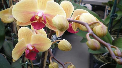 beautiful cream colored orchid flowers  wallpaperscom