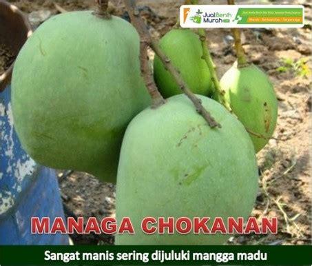 Harga Bibit Mangga Chokanan bibit mangga chokanan 70 cm jualbenihmurah