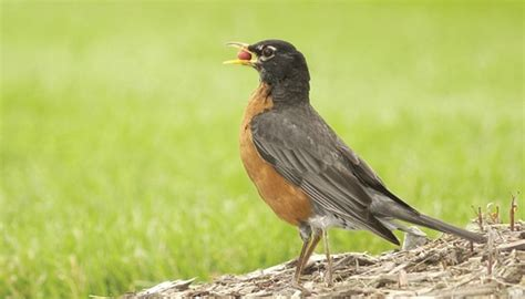 what do american robin bird eat robins birds unlimited birds unlimited