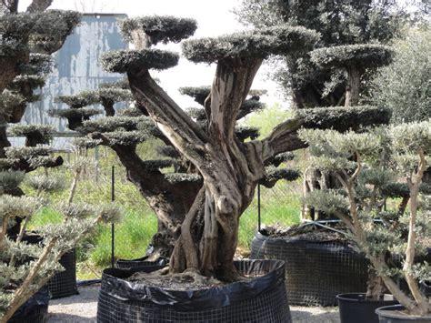 prezzi ulivi da giardino ulivi bonsai azienda florovivaistica rusconi luigi