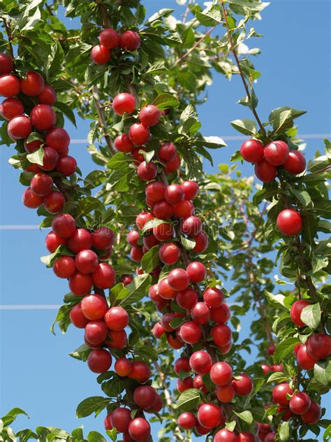 Red Plums On Tree Royalty Free Stock Images Image 10953789