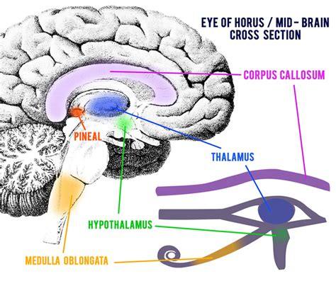 brain cross section real life sci fi the eye of horus pineal gland map
