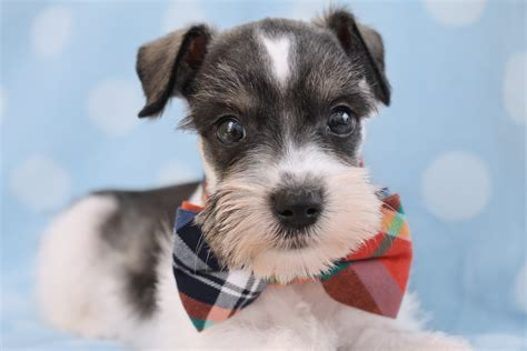 schnauzer puppies florida mini schnauzer puppies fl 4k wallpapers