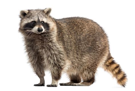 raccoon images how do raccoons get inside a house raccoon removal
