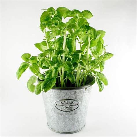 semina basilico in vaso come coltivare il basilico coltivare orto come