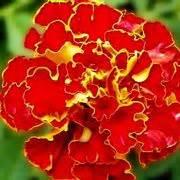 fiori dei morti significato garofano significato dei fiori conoscere