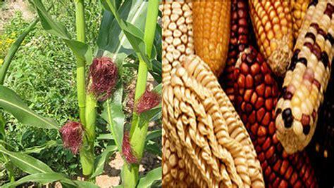 manfaat buah jagung morfologi jagung gambarbinatangcom