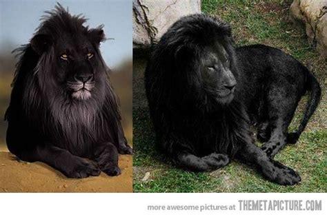 how rare is blackhair the rare black lion god s creatures pinterest