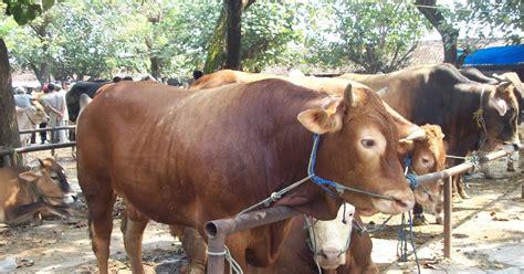 Jual Bibit Sapi Limosin Pasuruan pemilihan bibit ternak sapi untuk korban