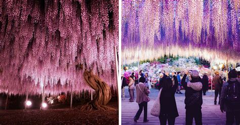 wisteria in japan 10 reasons you should drop everything and go to japan s