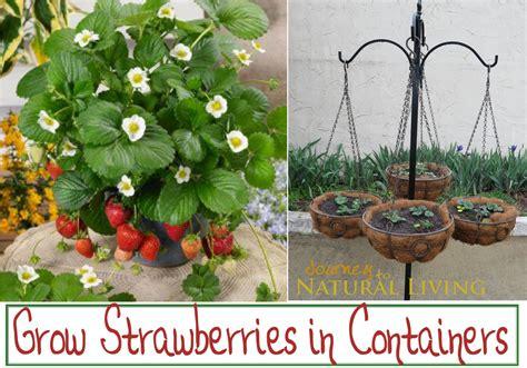 growing strawberries in hanging baskets pots journey
