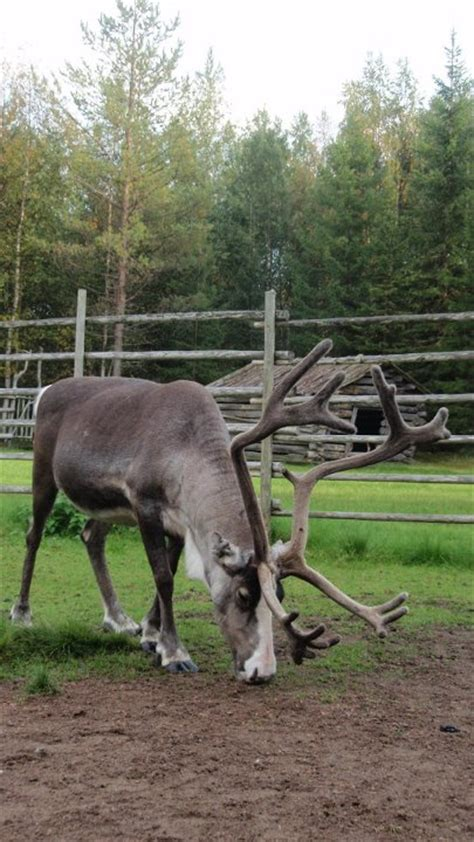 best place to stay in lapland at places to stay cuddling reindeer in lapland the