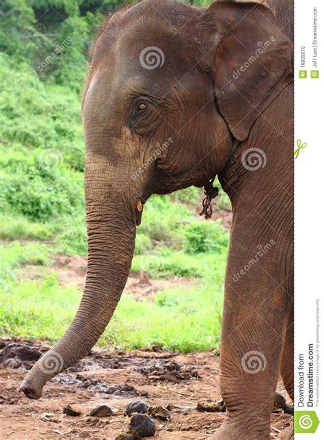 Tete Elephant Profil by Profil De T 234 Te D 233 L 233 Phant Photo Stock Image Du Laos
