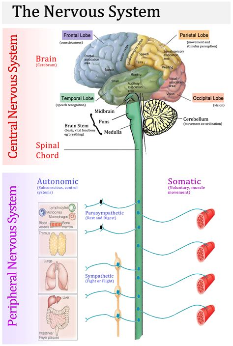 diagram of central and peripheral nervous system neurological care migraines dementia neuropathy etc