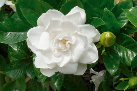 el templo del jazmin el jazm 237 n la flor del perfume