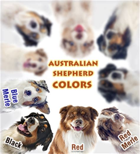 australian shepherd colors 4 australian shepherd colors and markings
