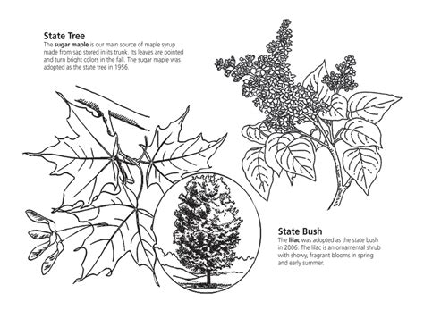 coloring page of sugar maple tree arbor day coloring pages coloring page of sugar maple tree