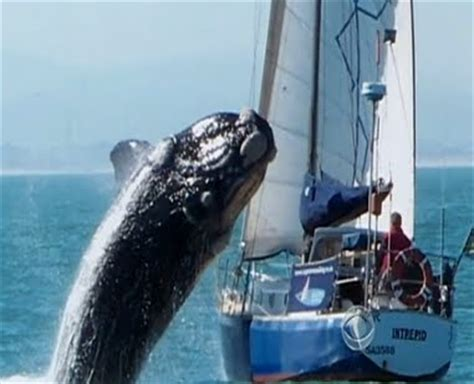 boat crash caught on tape leaping whale vs crashes sailing boat vs caught on tape