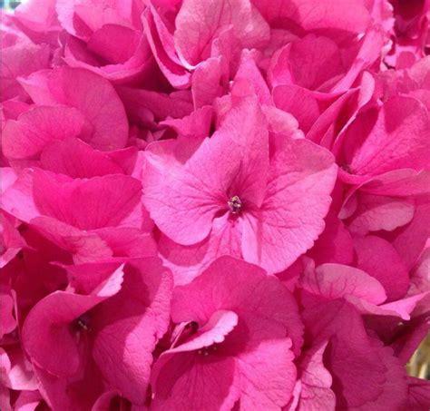 rosa fiore piante con fiori rosa ecco le pi 249 lombarda flor