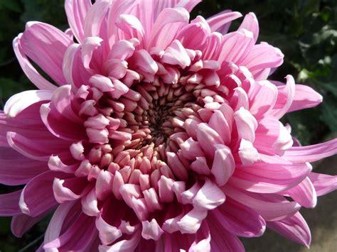 blumen gie 223 en garten chrysanthemenschau garten und fuchsienfreunde