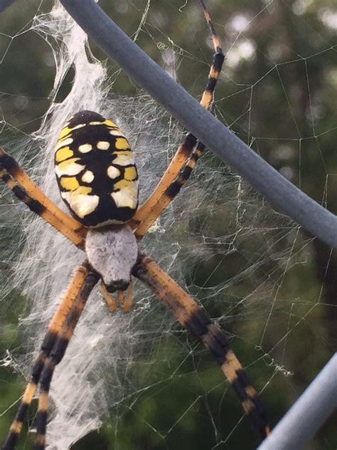 Garden Spider Repellent Spiders Canton Termite Pest